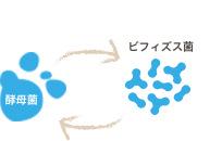 ビフィズス菌 酵母菌